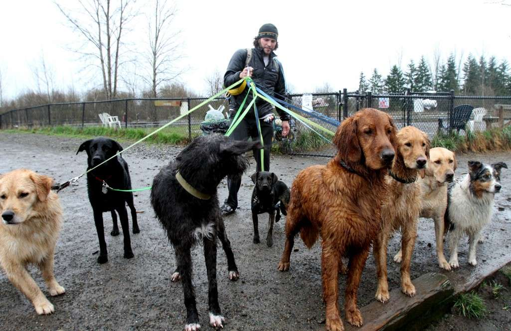 WANDERINGS ROCKET DOG 020912  Boone Elliott has all his dogs on this day's trip leashed up and ready to leave Magnuson Park.  They're waiting for another person to come through the gate into the off-leash area.